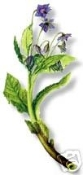 Borage Herb Premium Cut/Sifted-Natural-1 lb.-Poland-SOLD OUT