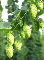 Hops Flowers Sweet Premium Whole-100% Natural-1 lb.-USA